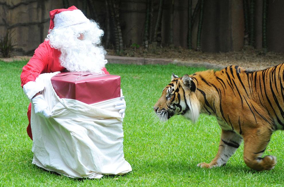 μια τίγρης της Σουμάτρας, συναντά τον Άγιο Βασίλη, σε ζωολογικό κήπο της Αυστραλίας