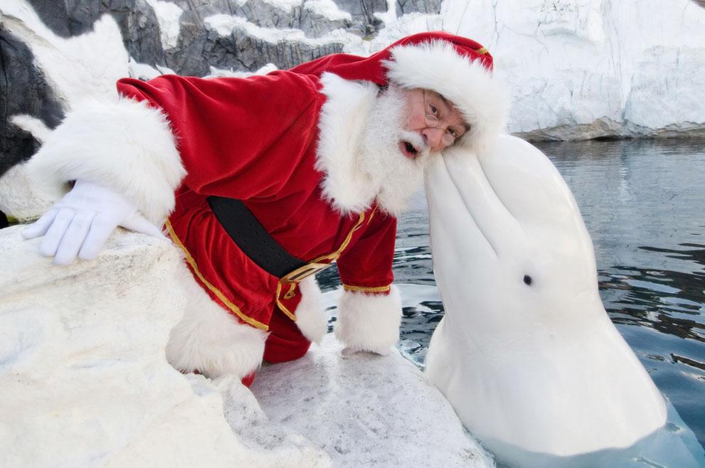 Άγιος Βασίλης ποζάρει με μια φάλαινα Beluga στο SeaWorld στο Σαν Ντιέγκο, Καλιφόρνια