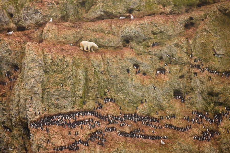 Πρώτο                                                            βραβείο                                                            'Φύση'. Πολική                                                            αρκούδα                                                            σκαρφαλώνει σε                                                              ένα βράχο για                                                            να πιάσει                                                            πουλιά.