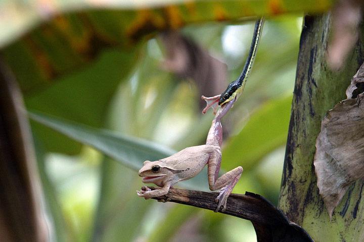 Φίδι των δέντρων αρπάζει  ένα  βάτραχο πάνω σε  μπανανιά στην  Ινδονησία.