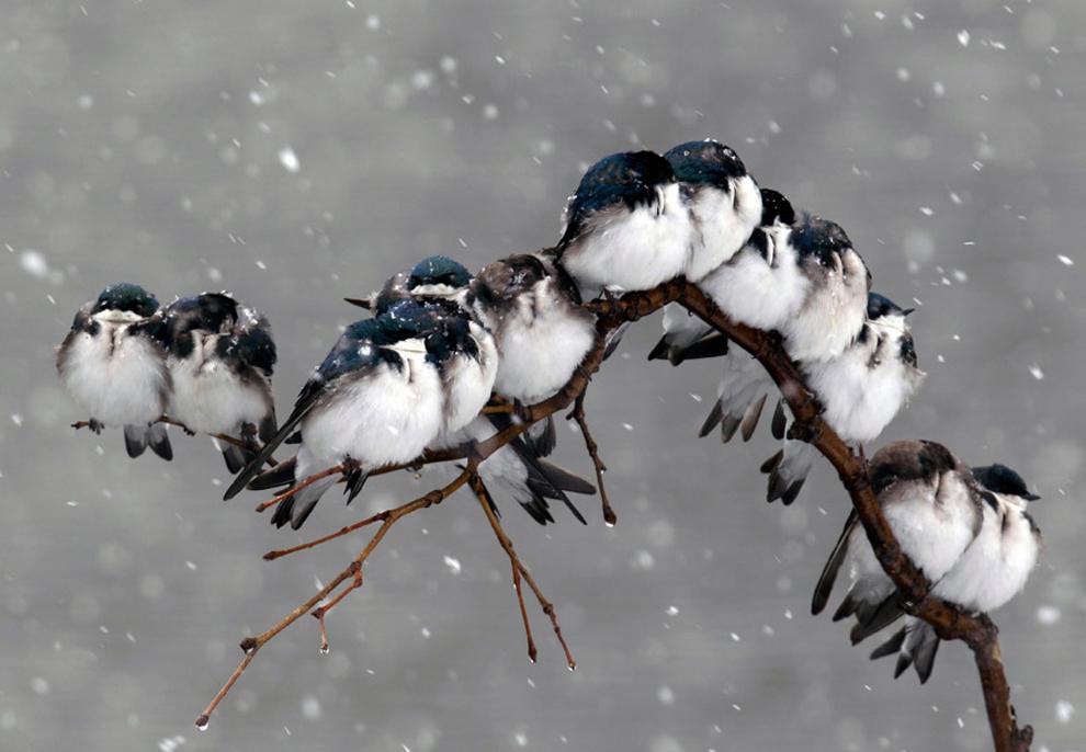 Πουλιά σκαρφαλωμένα σε έναν κλάδι κατά τη διάρκεια μιας χιονοθύελλας την άνοιξη στο Pembroke, Νέα Υόρκη