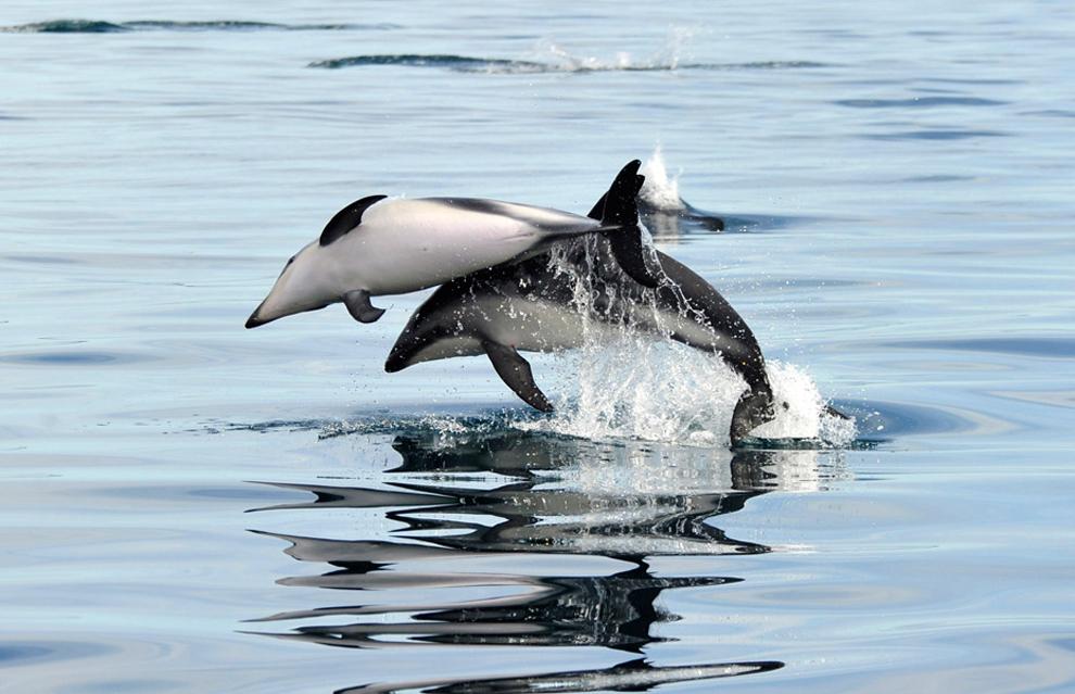 δελφίνια ανοικτά του Puerto Madryn, Αργεντινή.