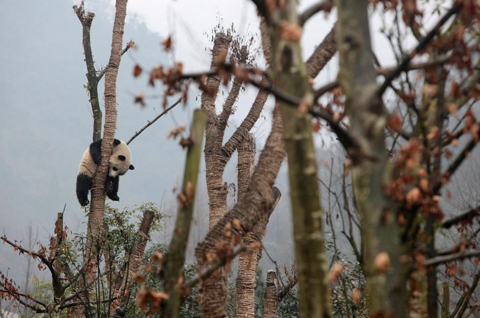 ένα γιγάντιο πάντα κάθισε σε ένα δέντρο στο κέντρο αναπαραγωγής Dujiangyan, Κίνα.