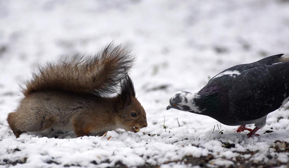 Ένας σκίουρος υπερασπίζεται την τροφή  του από ένα περιστέρι μετά την χιονόπτωση σε κεντρικό πάρκο στο Μινσκ, Λευκορωσία