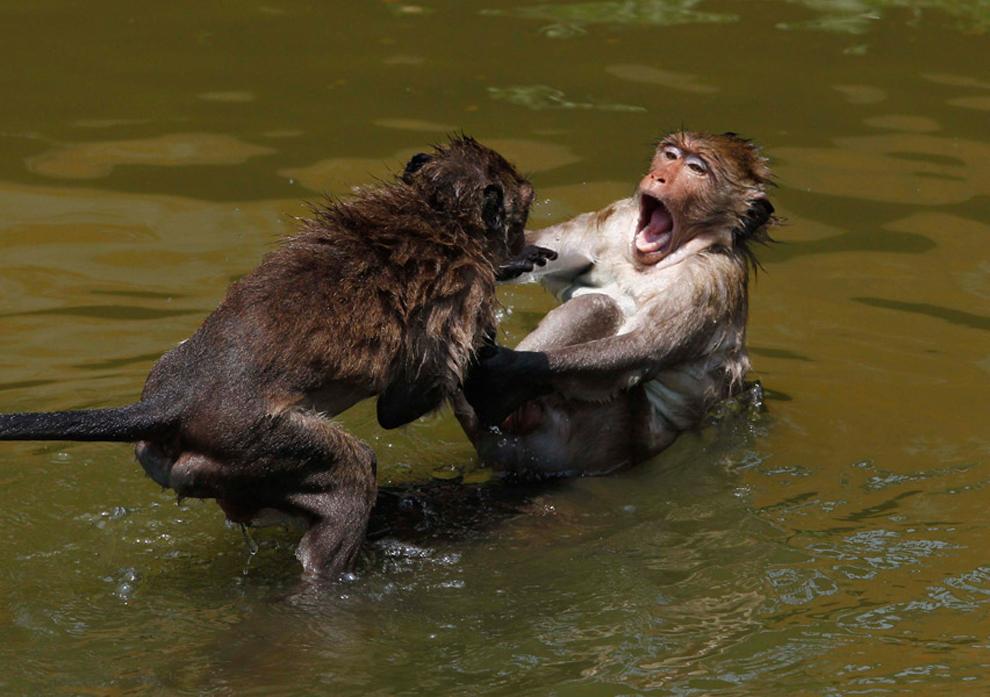 μαιμούδες απολαμβάνουν ένα κρύο μπάνιο σε μια λίμνη κατά τη διάρκεια μιας ζεστής μέρας σε μια αγροτική περιοχή βόρεια της Μπανγκόκ