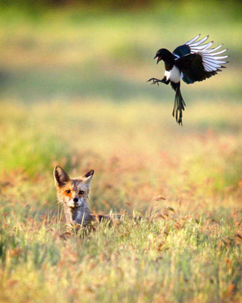 Μια κόκκινη αλεπού κάθεται στο γρασίδι όταν μια καρακάξα βουτάει - ανατολικά της Γουάλα Γουάλα,