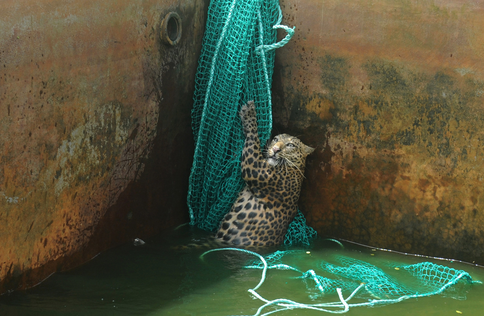 μια αρσενική άγρια λεοπάρδαλη ανέβηκε στο δίχτυ αφού έπεσε σε μια δεξαμενή νερού σε μια φυτεία τσαγιού στην Haskhowa, Δυτική Βεγγάλη, Ινδία
