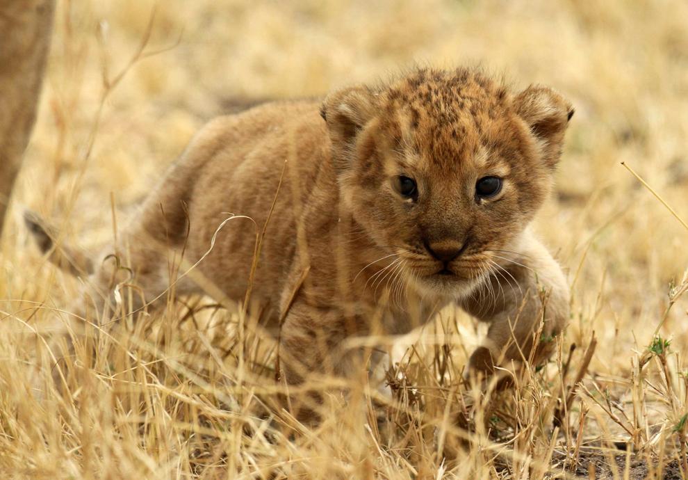 Ένα λιονταράκι στο Serengeti Εθνικό Πάρκο της Τανζανίας