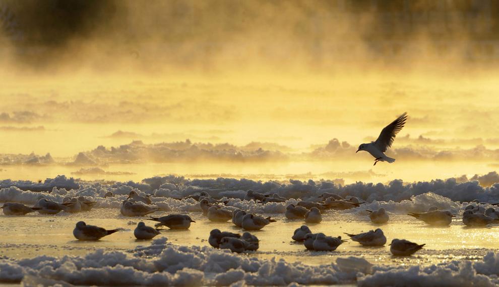Πουλιά στον  εν μέρει παγωμένο ποταμό Έλβα στη Δρέσδη της Γερμανίας.