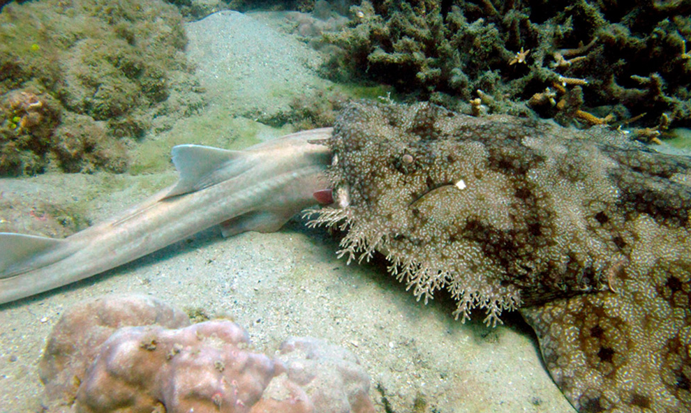 Ένας καρχαρίας  κατά τη διάρκεια μιας υποβρύχιας οπτικής απογραφή των ψαριών στον ύφαλο της Μεγάλης Keppel στο Great Barrier Reef.