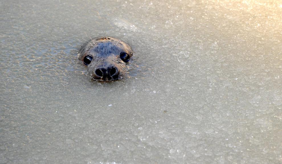 μια φώκια κάνει την εμφάνισή της στο σχεδόν παγωμένο νερό σε ένα σταθμό αναπαραγωγής στο Friedrichskoog, Γερμανία.