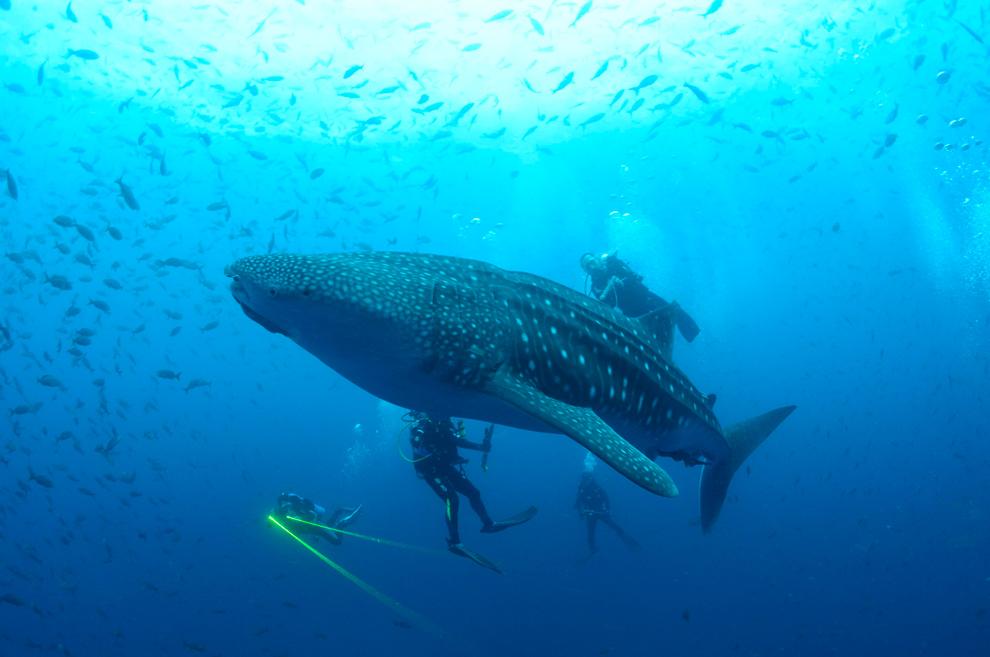 φαλαινοκαρχαρίας  κολυμπάει δίπλα σε ένα δύτη στα νησιά Γκαλαπάγκος