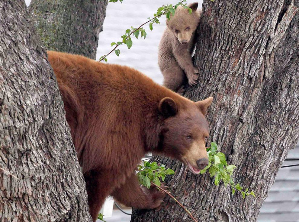 Μια αρκούδα μητέρα και δύο μικρά ,   Καλιφόρνια