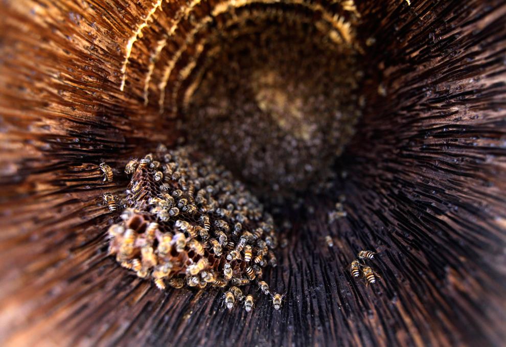 Μέλισσες σε ένα αγρόκτημα στα περίχωρα της Sanaa, Υεμένη