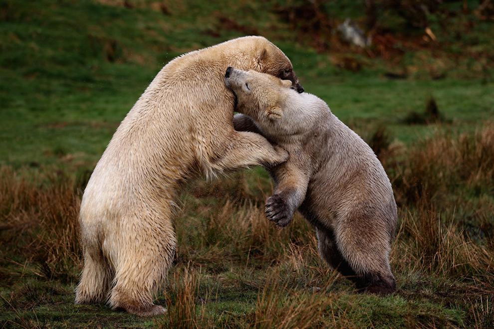 πολική αρκούδα στο Highland Wildlife Park του Kingussie, Σκωτία