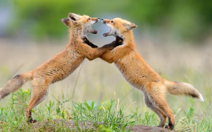 Αλεπούδες 'λογομαχούν'