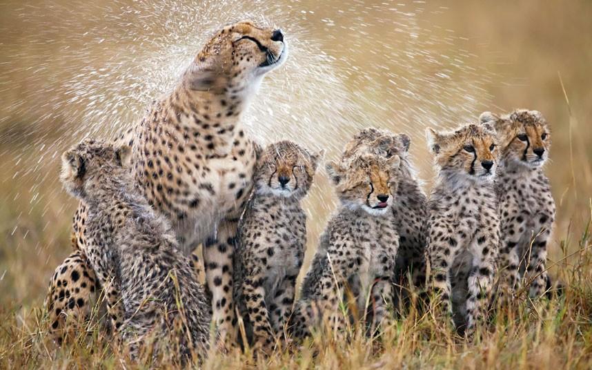 01-cheetahs-rain_2285948k