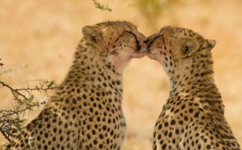 cheetahs-kiss_2416410k