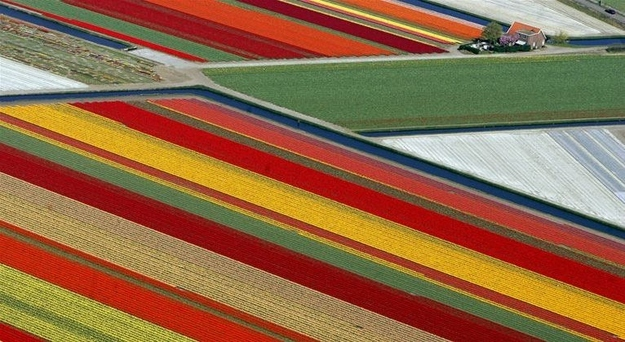 χωράφια με τουλίπες – Lisse, Ολανδία