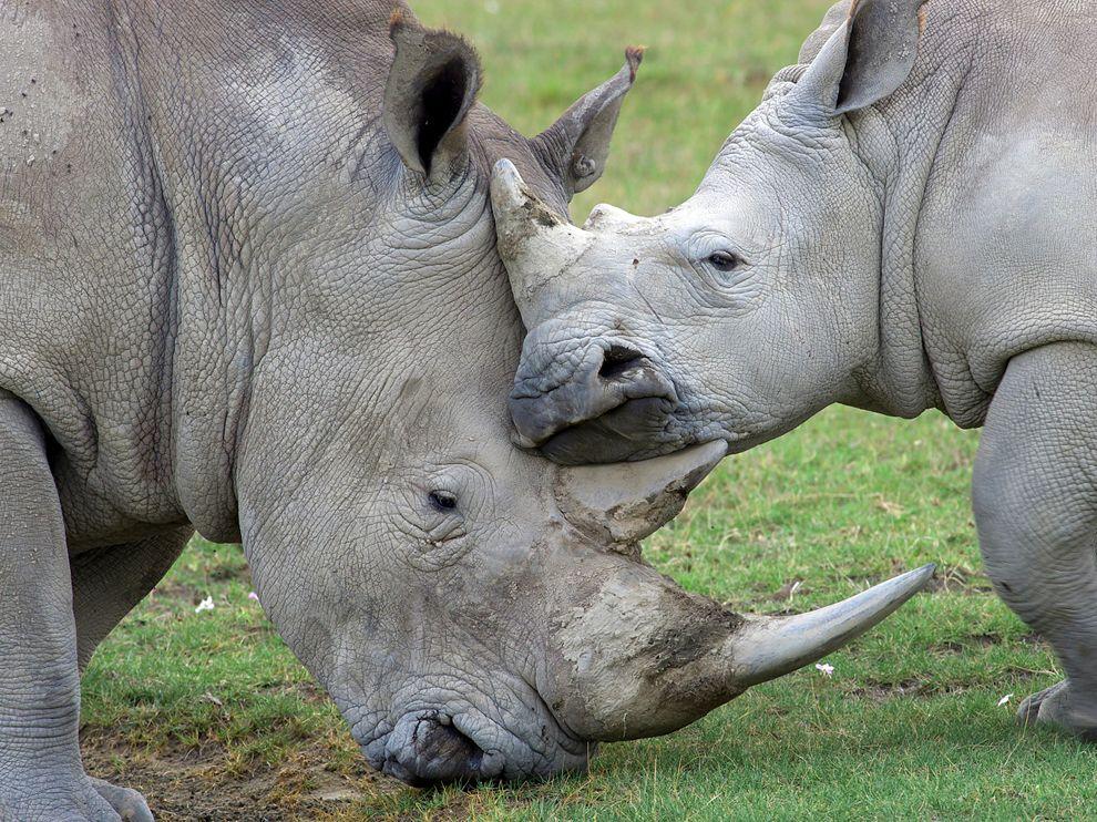 Ρινόκεροι στην Κένυα