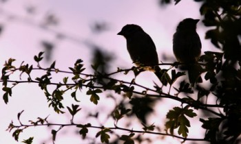 Country Diary : Tree sparrow silhouettes at dusk