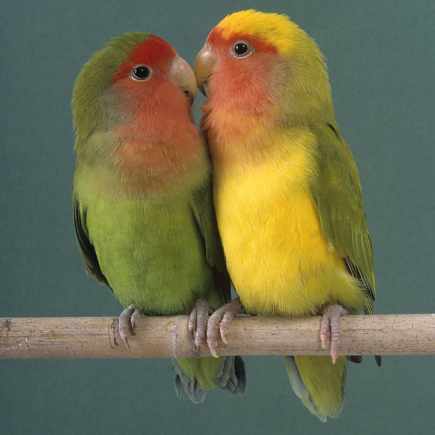 lovebirds_2480859k