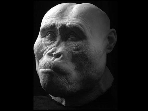 Australopithecus afarensis: έζησε  πριν 3,2 εκατομμύρια χρόνια. Ανακαλύφθηκαν στην περιοχή Αφάρ της Αιθιοπίας το 1975