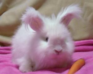 fluffy-rabbit-300x240