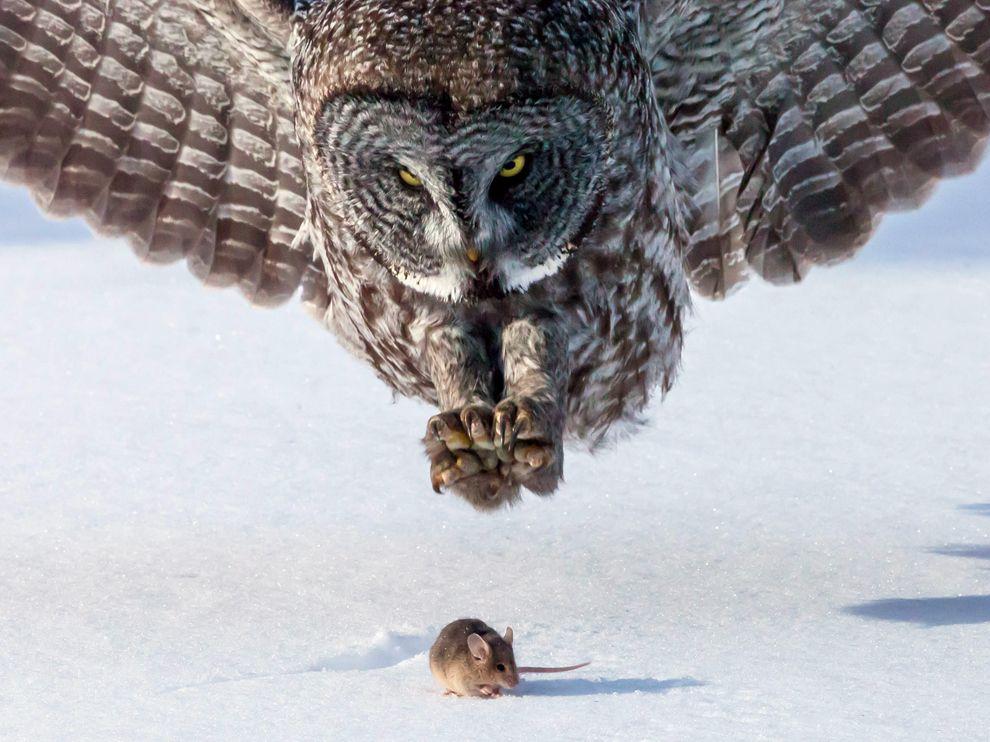 Κουκουβάγια επιτίθεται σε ποντίκι.