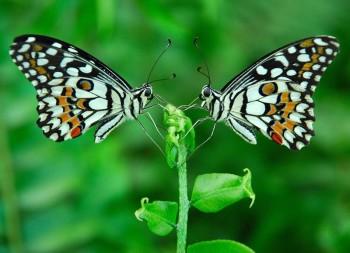 Φωτογράφηση την κατάλληλη στιγμή. Πρόκειται για δύο διαφορετικές πεταλούδες, και αν κοιτάξετε προσεκτικά, μπορείτε να δείτε τις διαφορές μεταξύ τους...