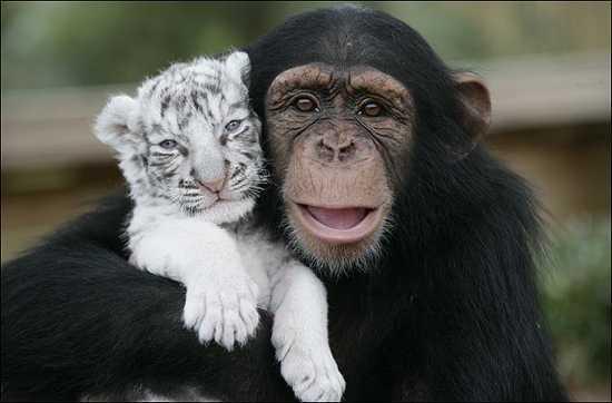 Anjana ο χιμπατζής
