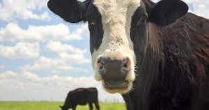 cow-300x158