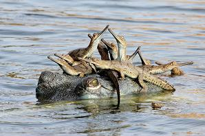 Κροκόδειλοι
