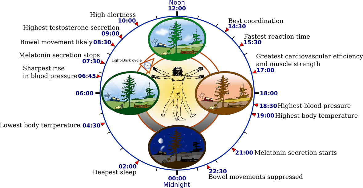 Biological_clock_human
