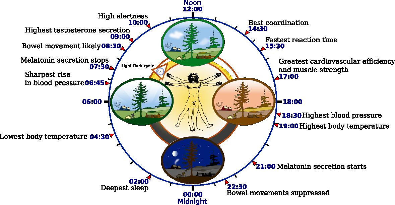 Biological_clock_human