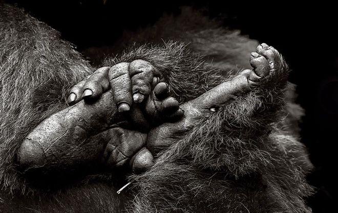 Φωτογραφία του Gail Von Bergen-Ryan. Γορίλες στην Rwanda