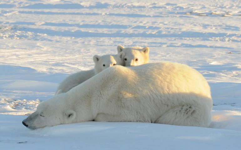 polar-bearsarctic