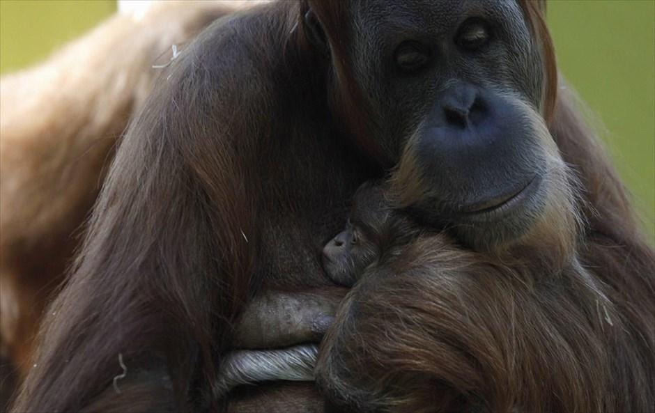 Οικογενειακές στιγμές στον ζωολογικό κήπο του Μονάχου. Η Matra, μία 38χρονη ουρακοτάγκος, κρατά το μωρό της.