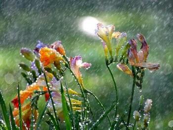 freesia_in_the_spring_rain