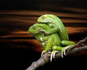 frog-se