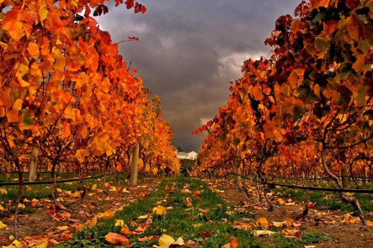 colorful-fall-photos-autumn-vineyard