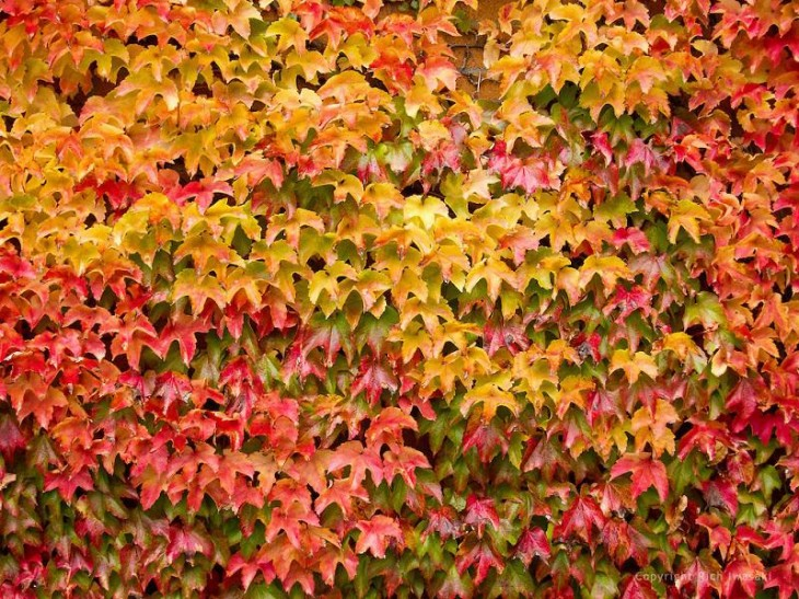 colorful-fall-photos-colorful-ivy