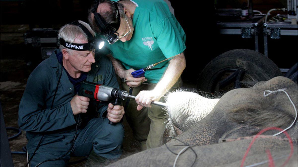 Κτηνίατροι χρησιμοποιούν ένα μεγάλο τρυπάνι για να φτάσουν στο χαλασμένο δόντι ενός 19χρονου ελέφαντα και να το σφραγίσουν, στον ζωολογικό κήπο του Tbilisi στη Γεωργία.