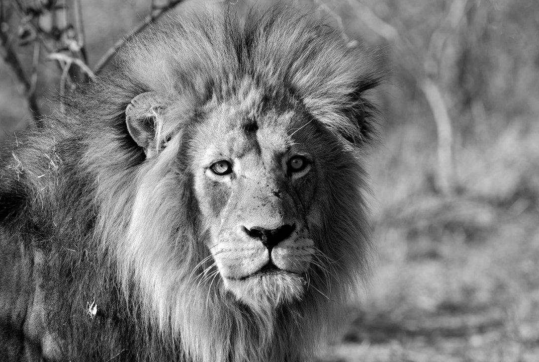 Πορτραίτο του βασιλιά των ζώων. (@Douglas Croft)