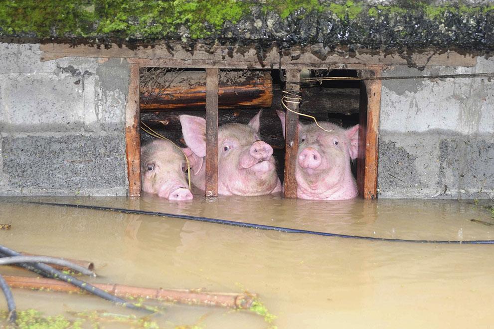 Εγκλωβισμένα γουρούνια μετά από ισχυρή νεροποντή σε επαρχία της Κίνας. (@(Reuters/Stringer).