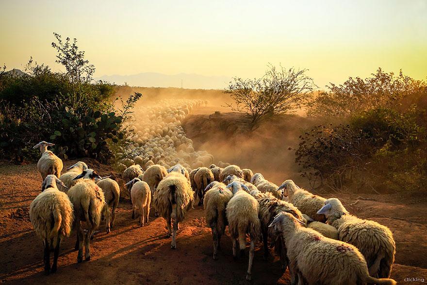 sheep-herds-around-the-world-18