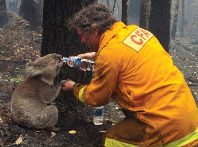 Ένας πυροσβέστης δίνει νερό σε ένα αφυδατωμένο κοάλα κατά την διάρκεια πυρκαγιάς στην Αυστραλία.