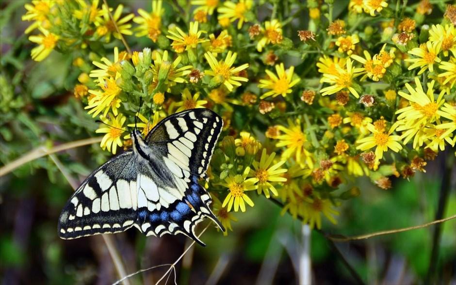 Μία πολύχρωμη πεταλούδα πάνω σε λουλούδια στο Ναύπλιο.