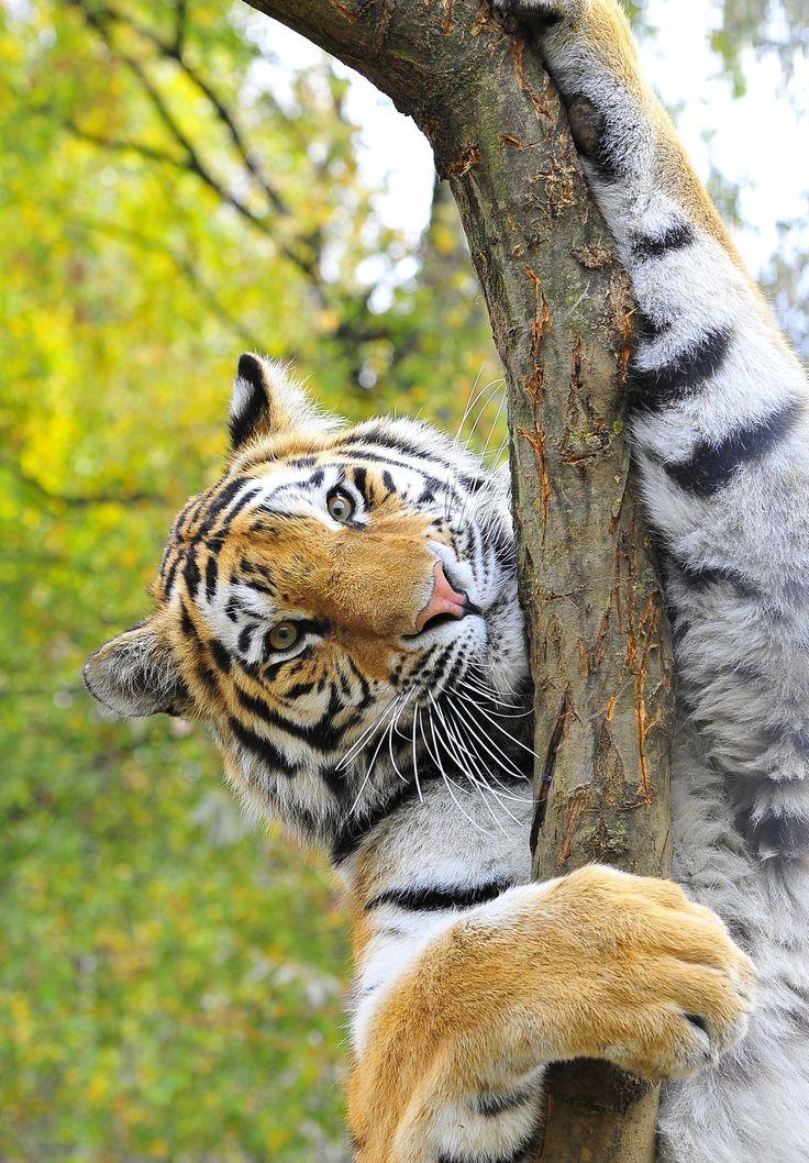 Ο γενετικά αποτελεσματικός πληθυσμός της τίγρης του Αμούρ (ή της Σιβηρίας), του μεγαλύτερου αιλουροειδούς στον κόσμο που απειλείται άμεσα με εξαφάνιση, αριθμεί μόλις 14 ζώα, προειδοποιούν επιστήμονες σε έκθεσή τους στην επιθεώρηση Mammalian Biology. Όπως εξηγούν, απομένουν περίπου 500 τέτοιες τίγρεις, όμως ο αποτελεσματικός τους πληθυσμός είναι αυτός που καθορίζει τη γενετική ποικιλομορφία του είδους. Το γεγονός ότι είναι τόσο χαμηλή σημαίνει ότι π.χ. μια ασθένεια ή μια γενετική ανωμαλία είναι πολύ πιθανό να περάσει στην επόμενη γενιά.