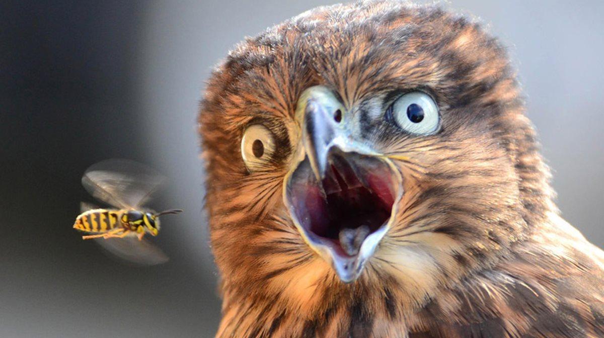 Ένα γεράκι κοιτά με τρόμο μια σφήκα που ξαφνικά βρέθηκε να πετά μπροστά του, επιβεβαιώνοντας πως πάντα υπάρχει κάτι που να φοβίζει ακόμη και τους πλέον ατρόμητους κυνηγούς.